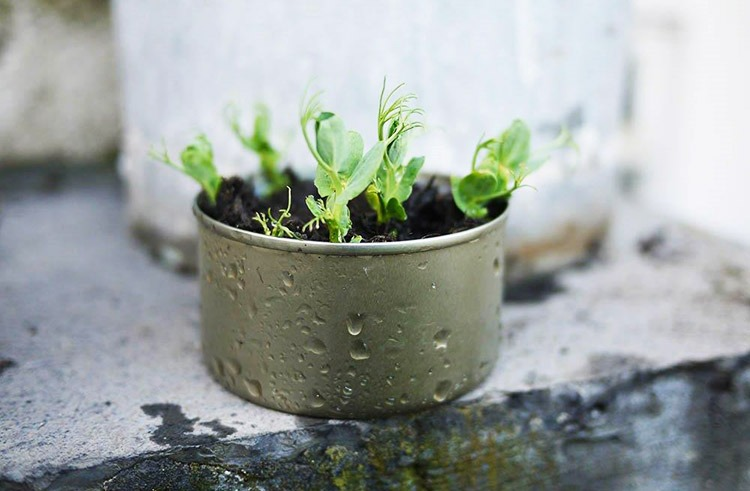 Grow-your-own pea shoots